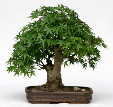 bonsai japanischer f cherahorn. Black Bedroom Furniture Sets. Home Design Ideas