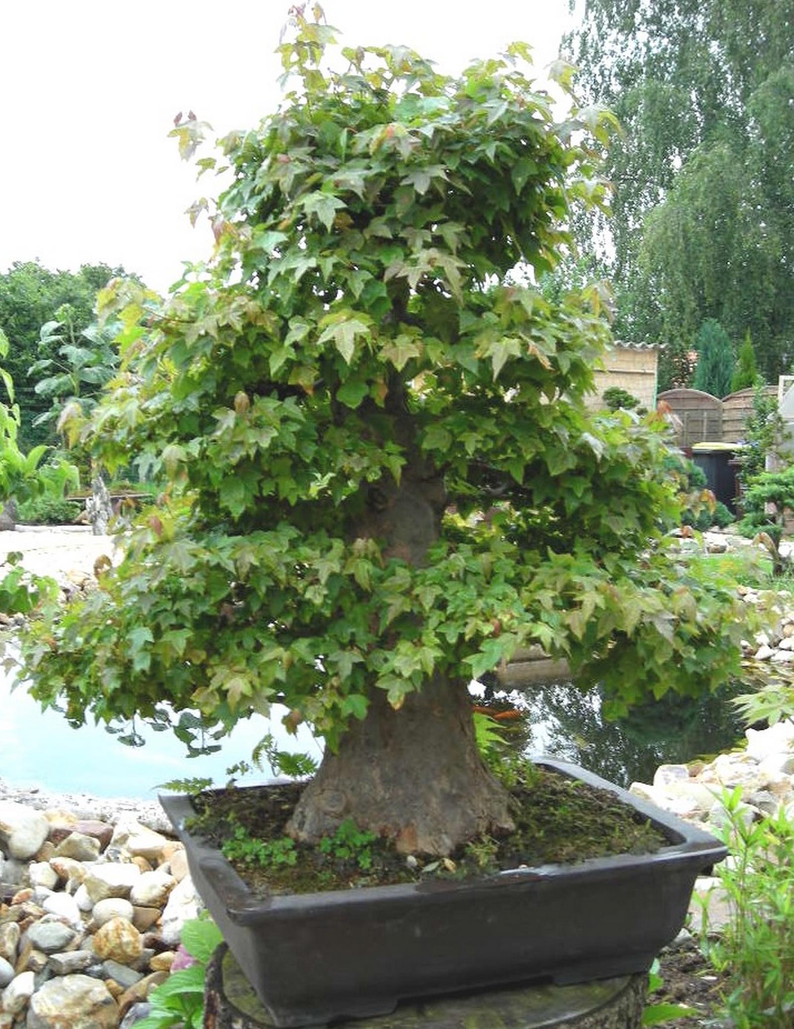 bonsai acer buergerianum dreispitzahorn dreizahnahorn. Black Bedroom Furniture Sets. Home Design Ideas