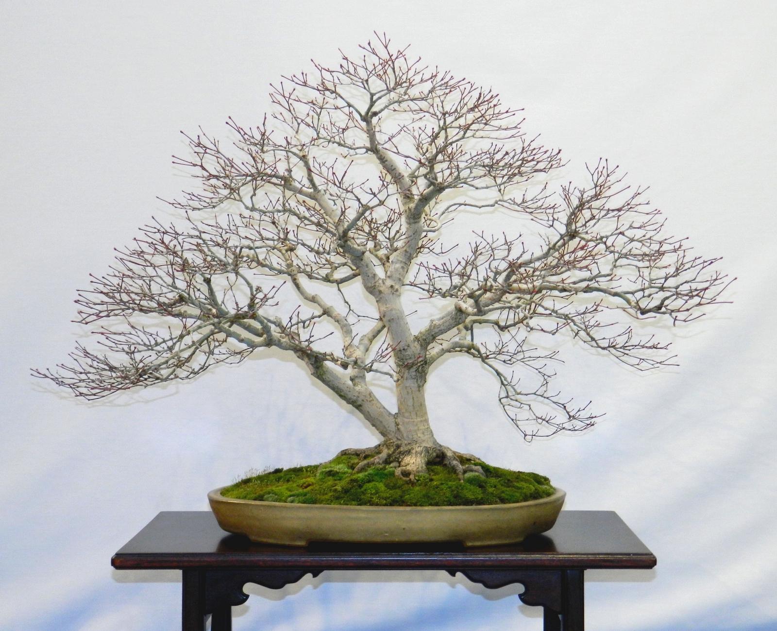 japanischer f cherahorn kaufen japanische ahorn baumschule pflanzen gro e pflanzen und. Black Bedroom Furniture Sets. Home Design Ideas