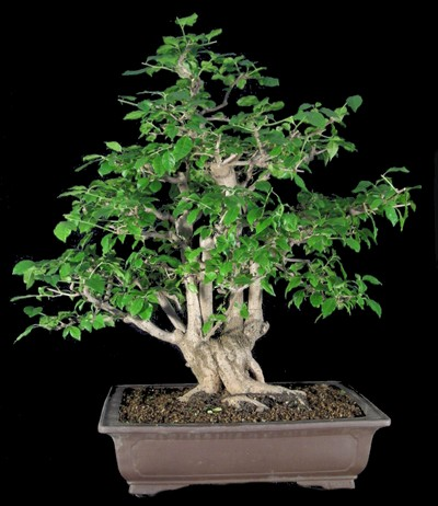 Bonsai-Shopping.eu - Bougainvillea glabra, Bougainvillea ...