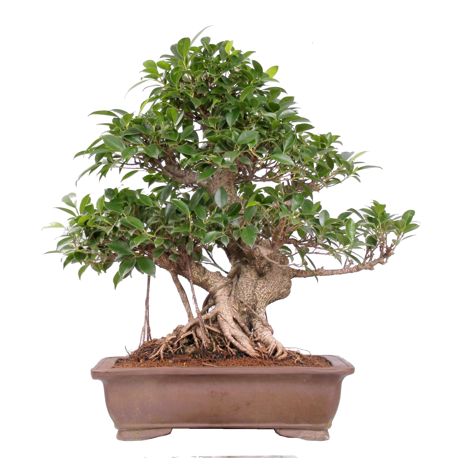 bonsai ficus retusa chineische feige. Black Bedroom Furniture Sets. Home Design Ideas