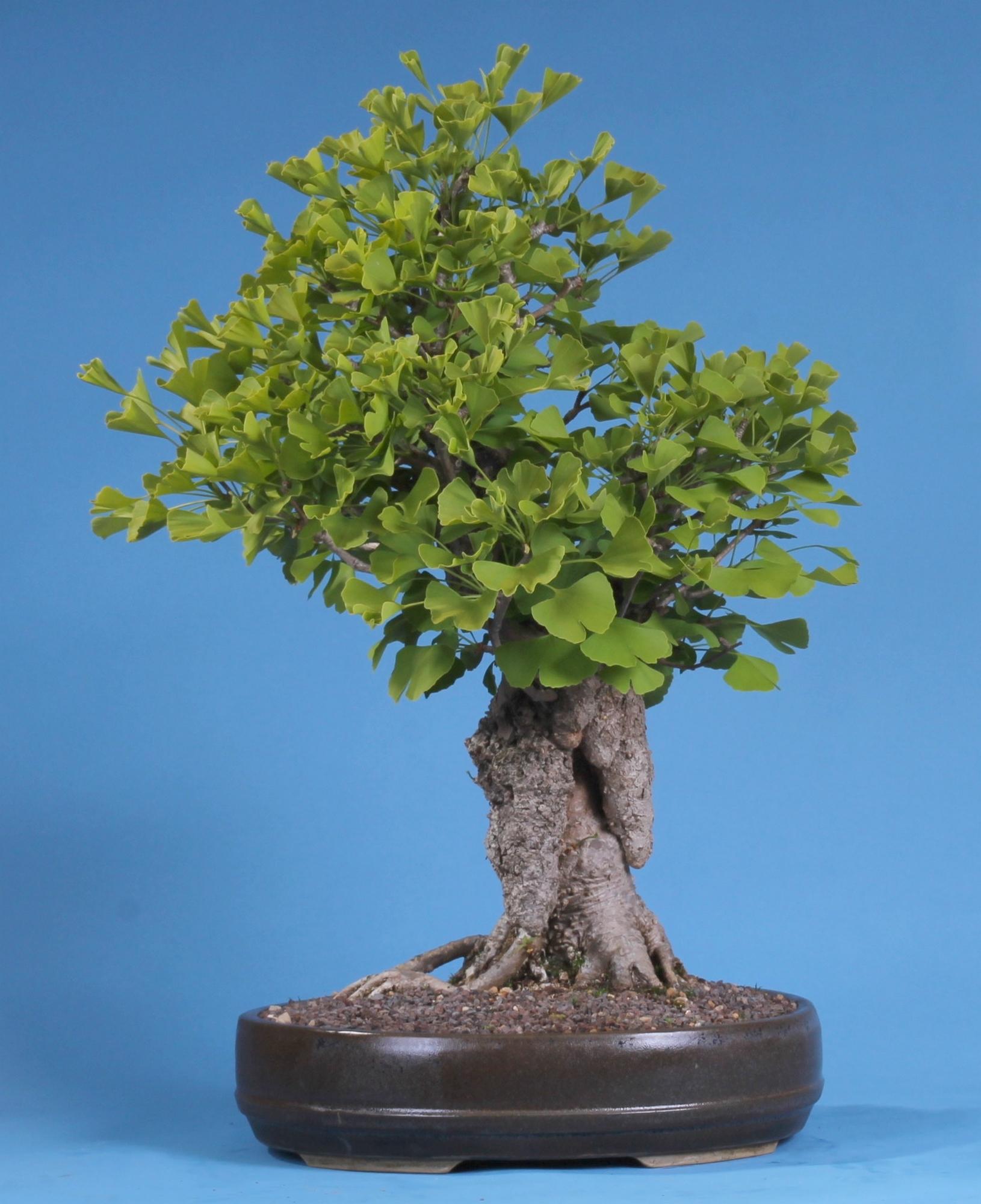 bonsai pflege ginkgo biloba ginkgo. Black Bedroom Furniture Sets. Home Design Ideas