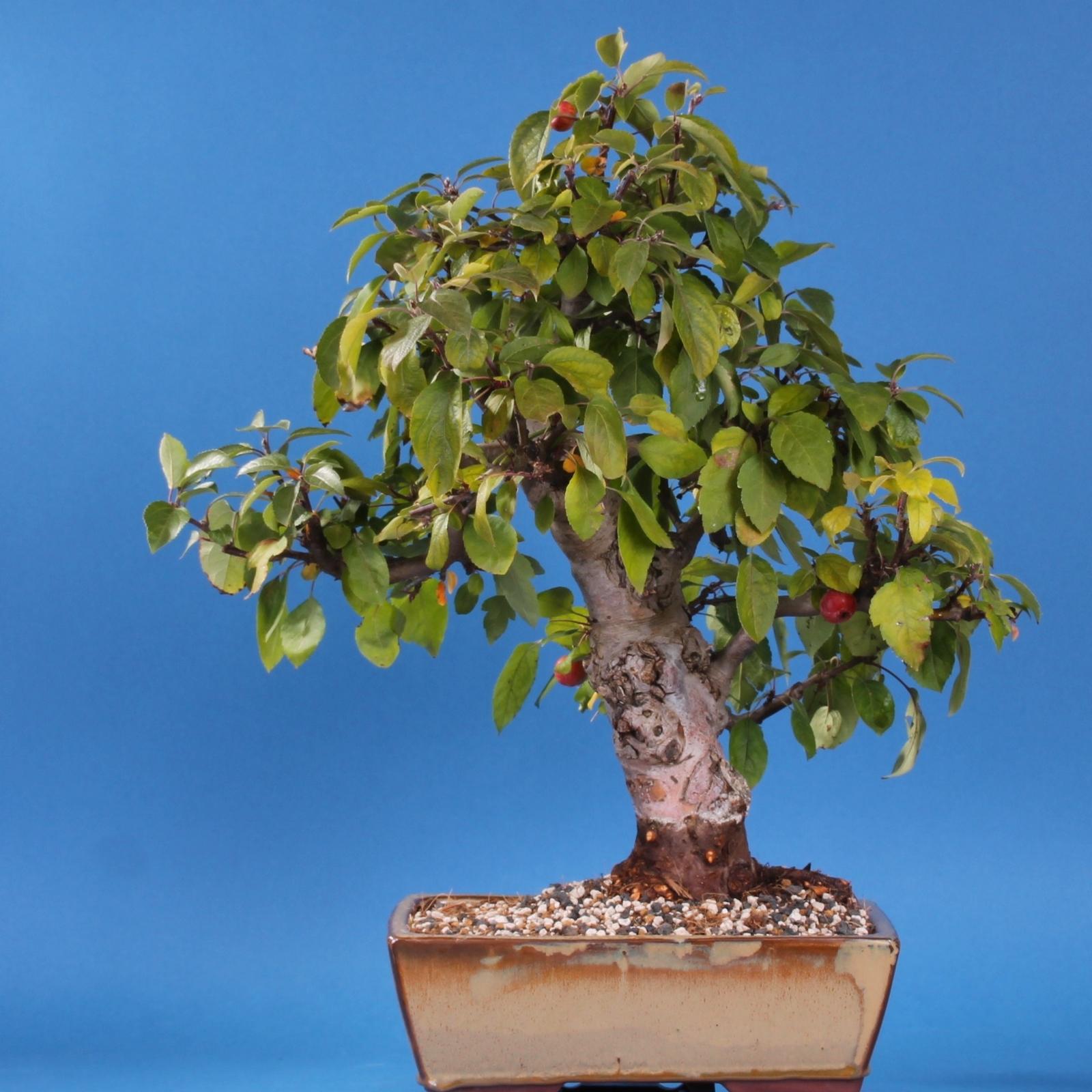 Bevorzugt Bonsai-Shopping.eu - Malus spec.Apfel, Zierapfel SH29