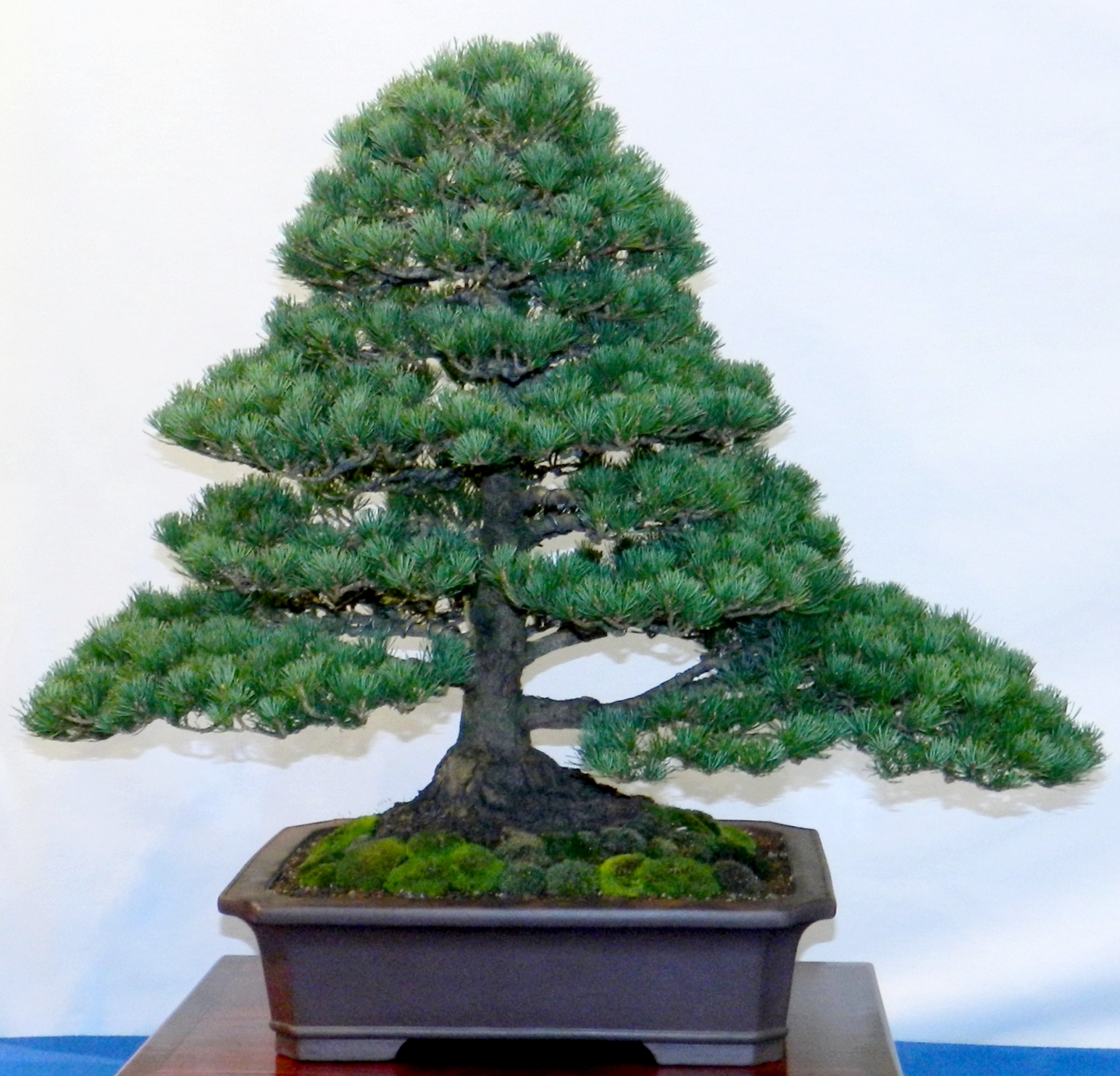 bonsai pinus parviflora m dchenkiefer pflegeanleitung. Black Bedroom Furniture Sets. Home Design Ideas