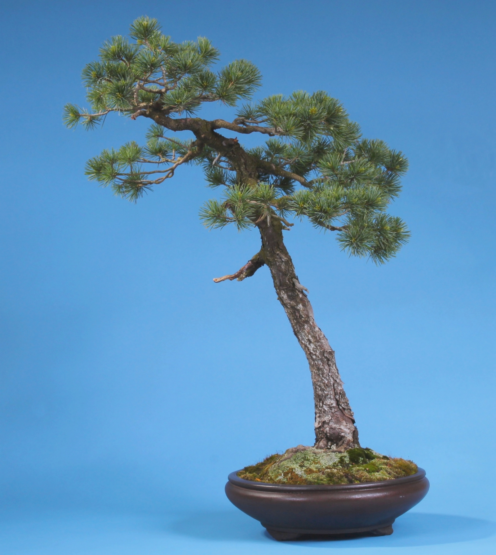 bonsai pinus parviflora m dchenkiefer. Black Bedroom Furniture Sets. Home Design Ideas