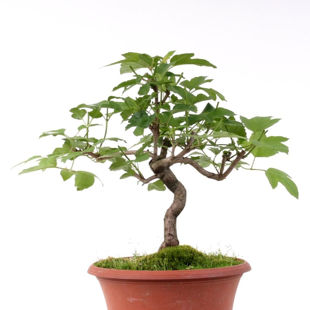 bonsai viburnum opulus gemeiner schneeball 138 59 ebay. Black Bedroom Furniture Sets. Home Design Ideas
