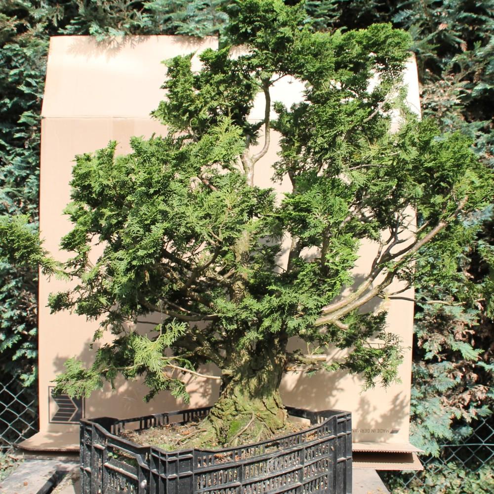 bonsai gro e chamaecyparis obtusa hinoki scheinzypresse. Black Bedroom Furniture Sets. Home Design Ideas