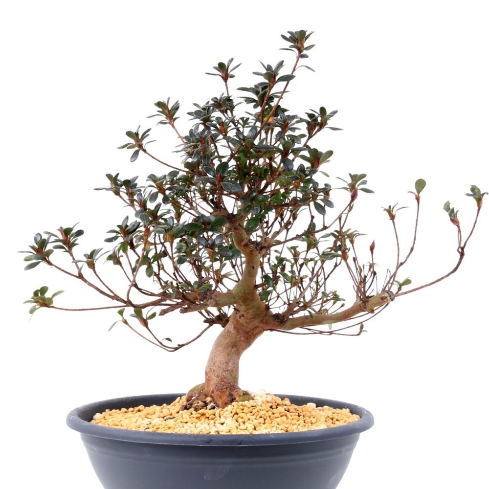 bonsai japanische satsuki azalee 39 kobai 39 rhododendron. Black Bedroom Furniture Sets. Home Design Ideas