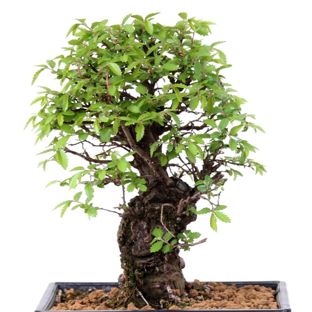 bonsai shohin zelkova nire schwarze zelkove aus japan. Black Bedroom Furniture Sets. Home Design Ideas