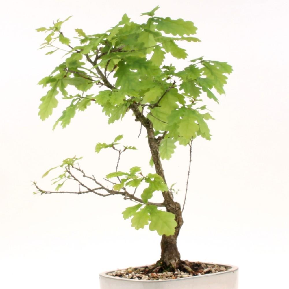 bonsai stieleiche quercus robur yamadori 186 106 ebay. Black Bedroom Furniture Sets. Home Design Ideas