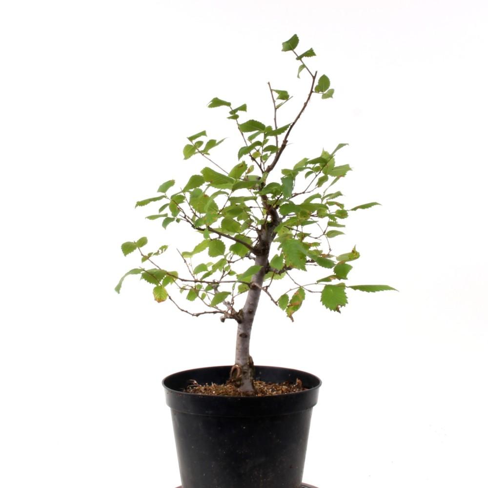 bonsai ulmus glabra bergulme 186 30 ebay. Black Bedroom Furniture Sets. Home Design Ideas