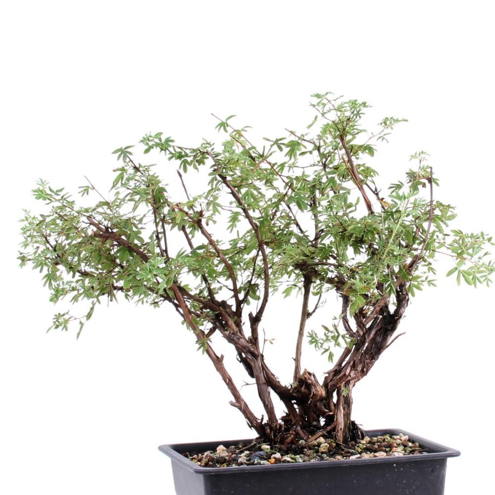 bonsai potentilla fruticosa f nffinger herbe blanc 189. Black Bedroom Furniture Sets. Home Design Ideas