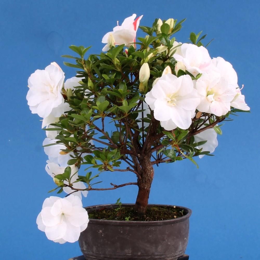 bonsai japanische satsuki azalee 39 miho no mai 39 rhod. Black Bedroom Furniture Sets. Home Design Ideas