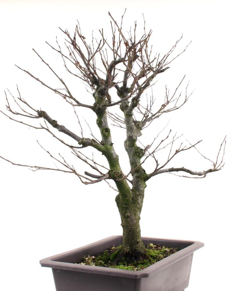 bonsai alnus spaethii purpurerle yamadori 194 119 ebay. Black Bedroom Furniture Sets. Home Design Ideas