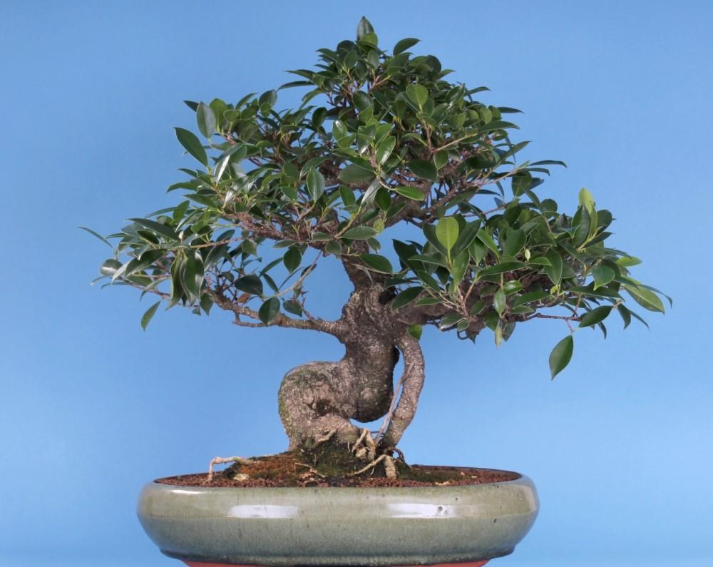 bonsai ficus retusa chineische feige. Black Bedroom Furniture Sets. Home Design Ideas