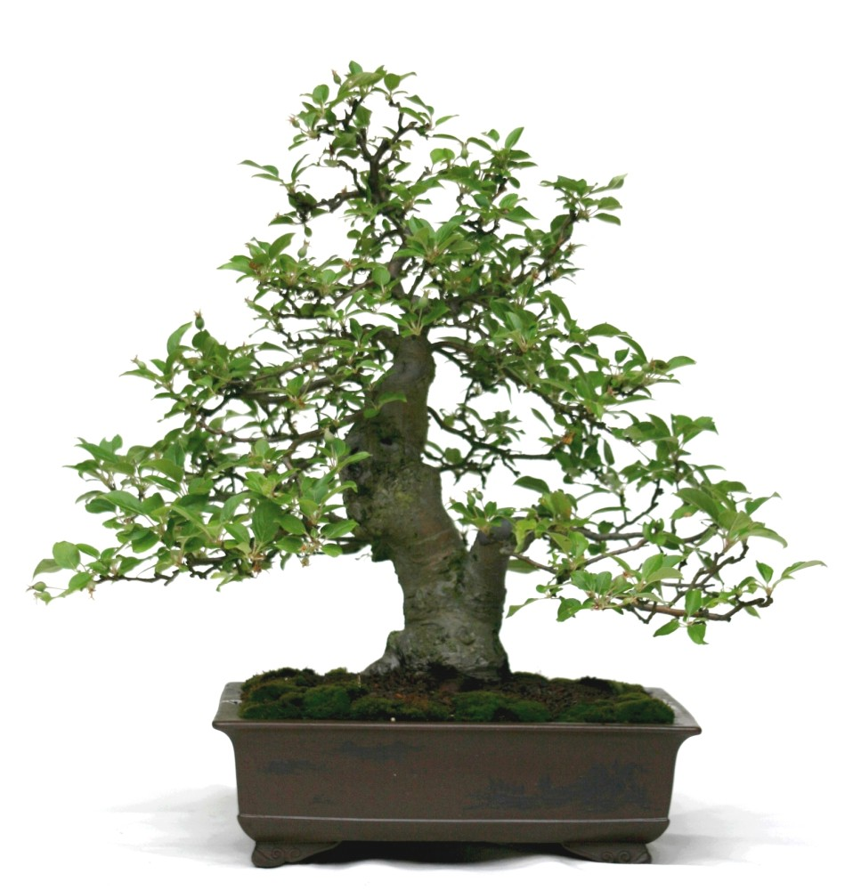 bonsai malus spec apfel zierapfel. Black Bedroom Furniture Sets. Home Design Ideas